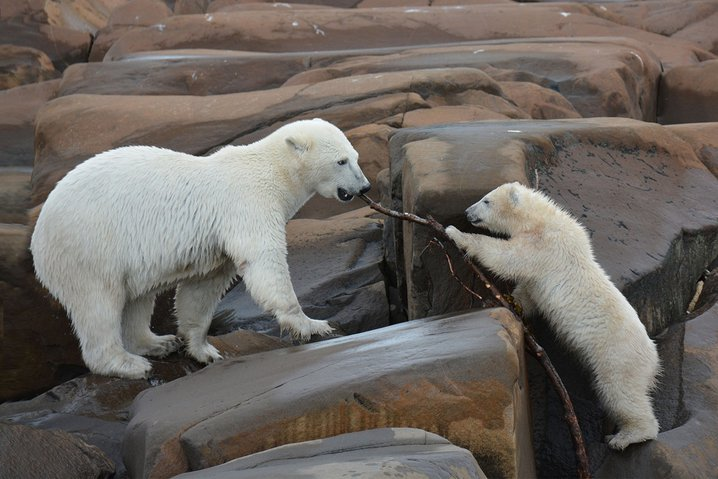 Polar bears in Manitoba.