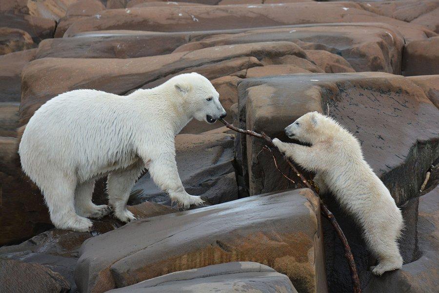 Polar bears in Manitoba.