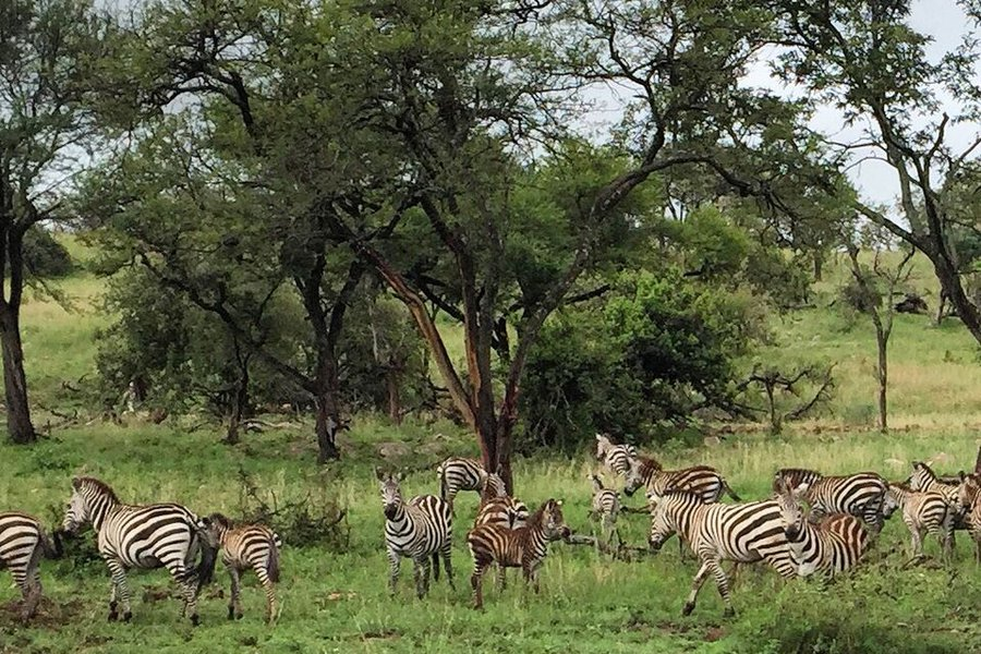 Zebras roaming in Tanzania.