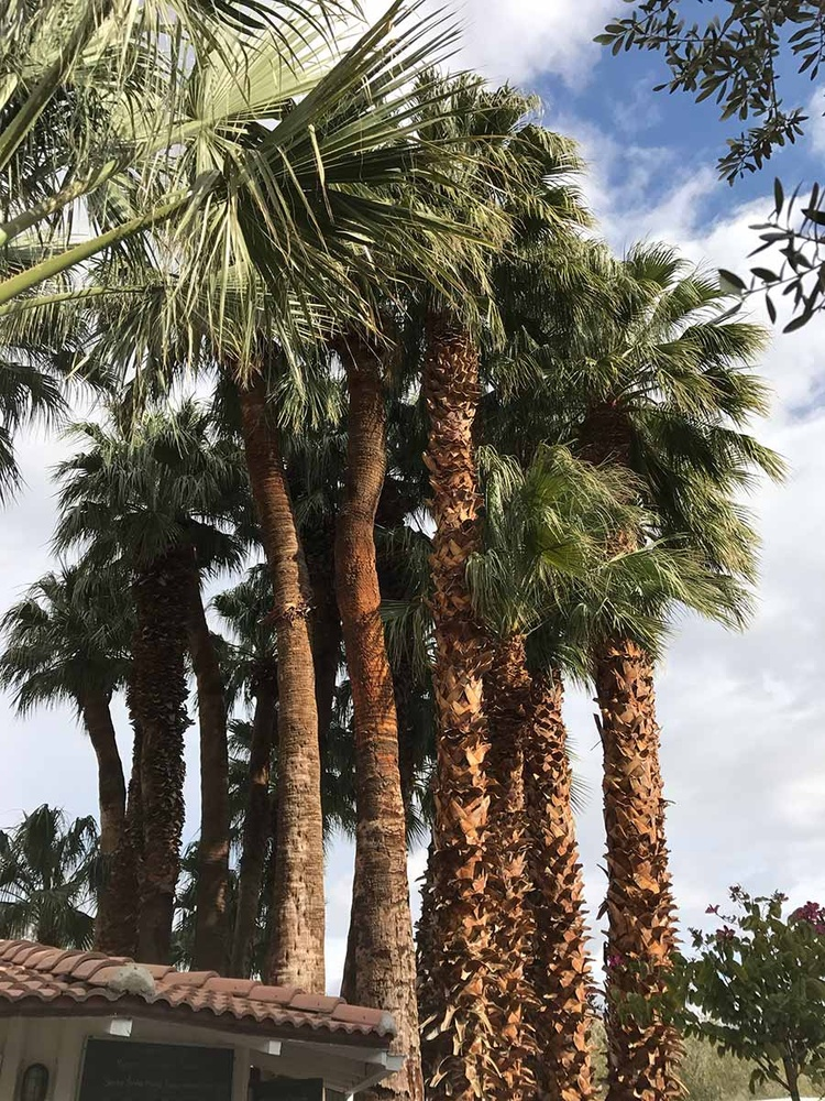Famous palm trees at Two Bunch Palms