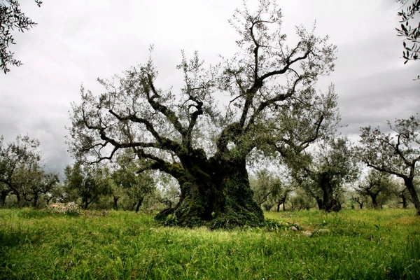 Olive Tree of Macciano