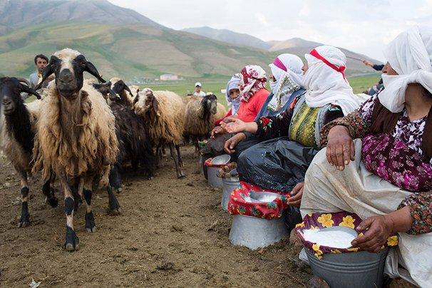 Women milking sheep.