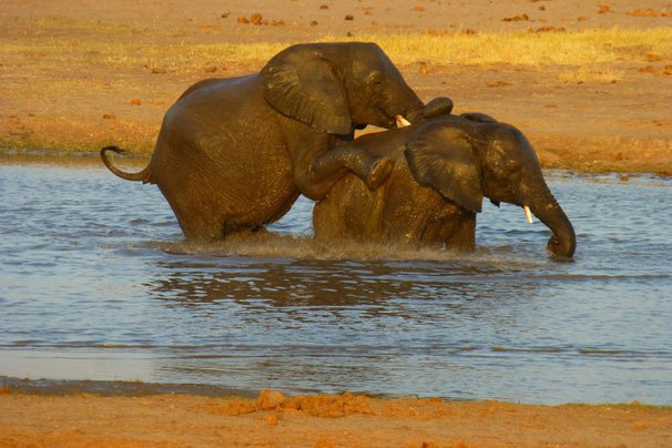 Elephants humping in Zimbabwe.