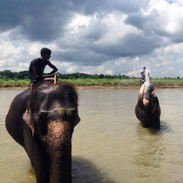 Chitwan Elephants
