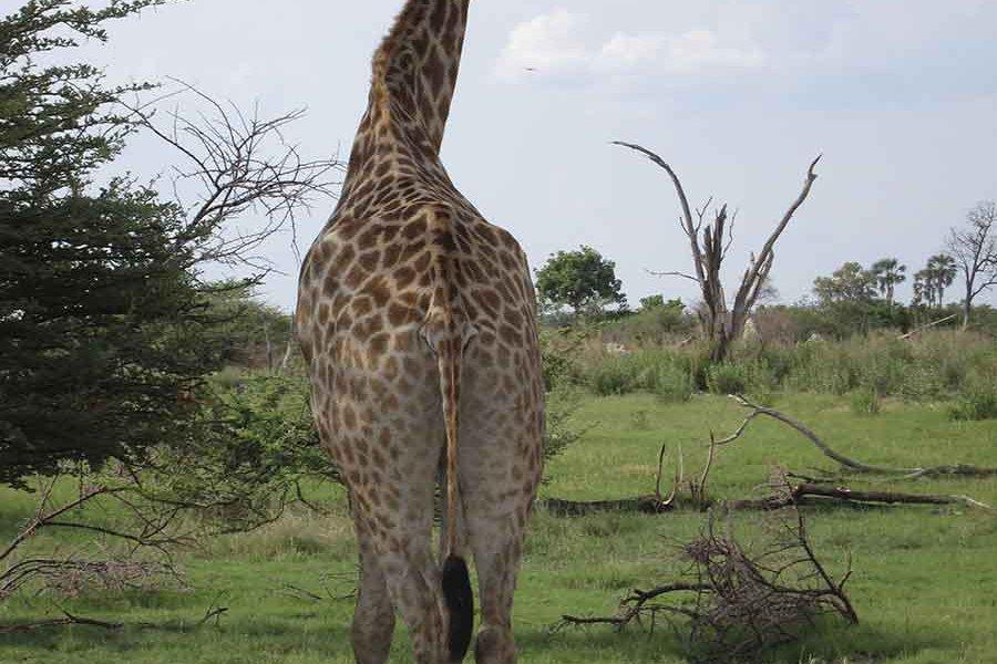 A Posing Giraffe