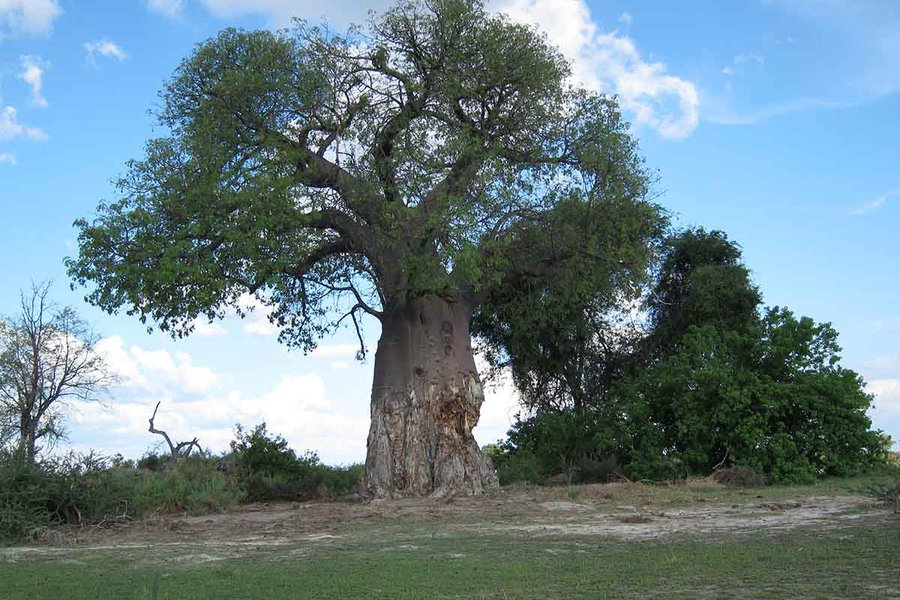 Damaged Baobab Tree