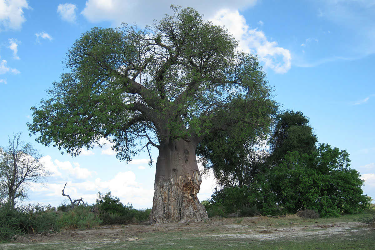 Chewed up baobab