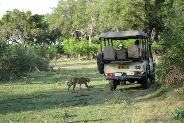 Curious leopard