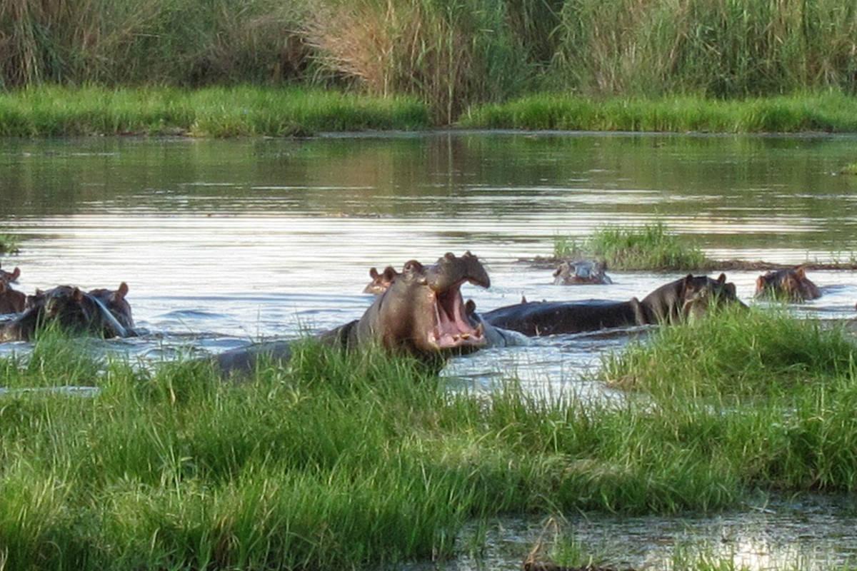 Yawning hippos