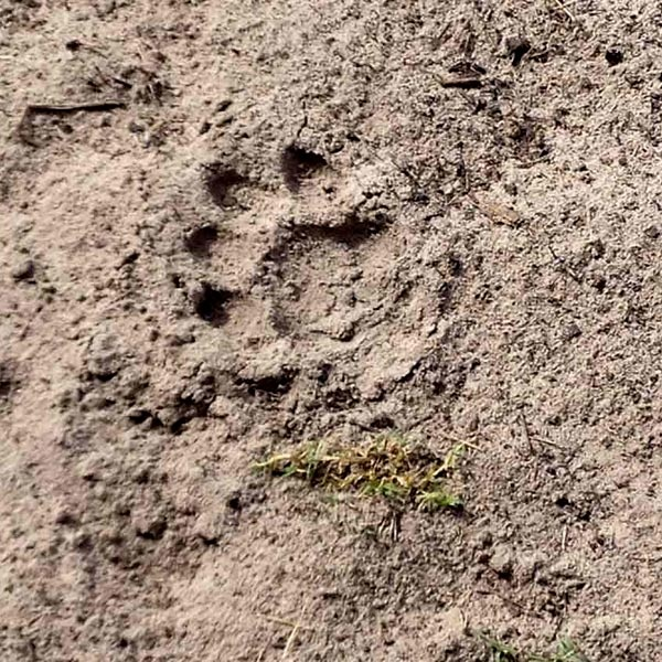 Lion's pawprint