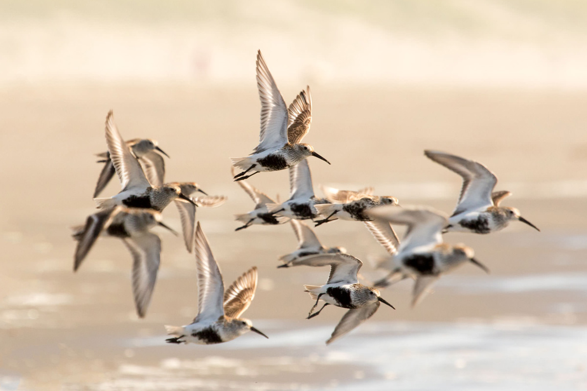 Dunlins in Breeding Plumage