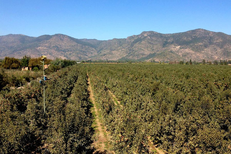 Apples in Colchagua Valley