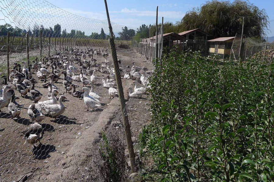 Farm Labor: Geese
