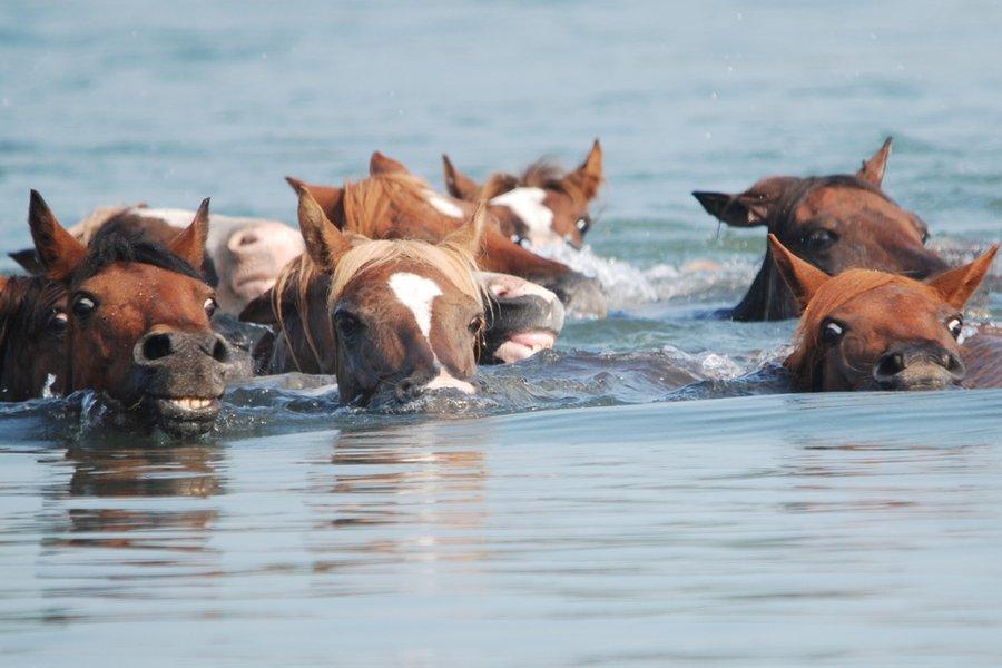 Swimming Ponies