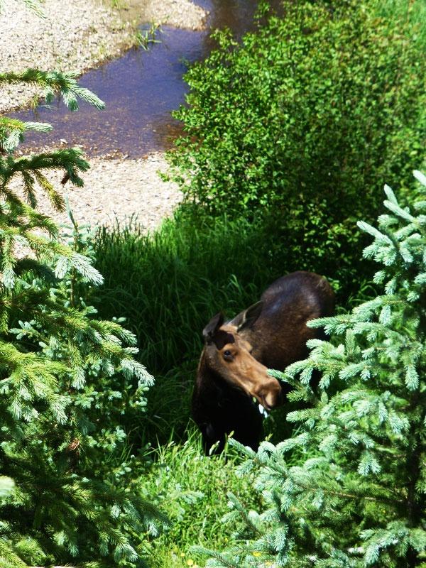 Moose sightings
