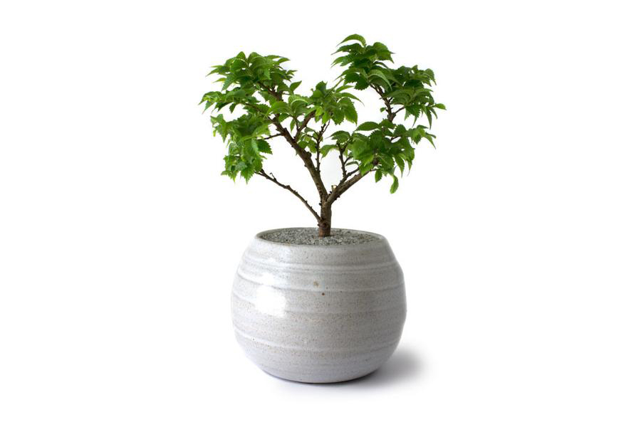 Dandy Farmer Bonsai Tree