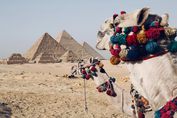 Camels at the Great Pyramids