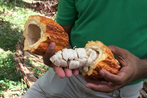 Emerald Farm Cacao Fruit