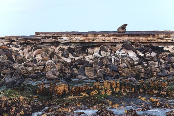 Seals in Shark Alley.