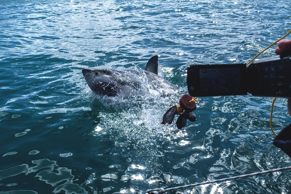 Gansbaai Seal Decoy Shark