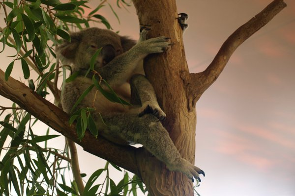 Gearing up for a koala cuddle