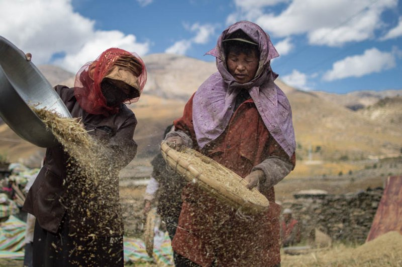 Harvesting barley in Tibet