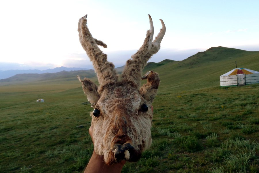 A deer head as a decorative, in the local gers near Uureg Lake in northwest Mongolia.