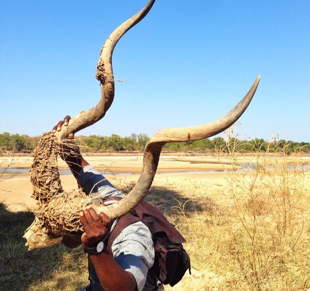 Tales of a Spiral-Horned Kudu