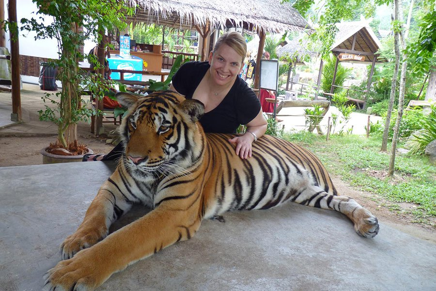 Don't Believe My Smile: This Poor Sedated Tiger Is on Display for Tourists