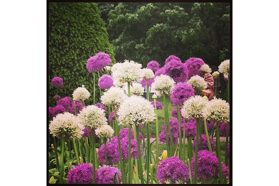 "Allium forest in the Boston Public Garden. Photo by <a title=""jennypenny5082"" href=""http://instagram.com/jennypenny5082"" target=""_blank"">@jennypenny5082</a>"