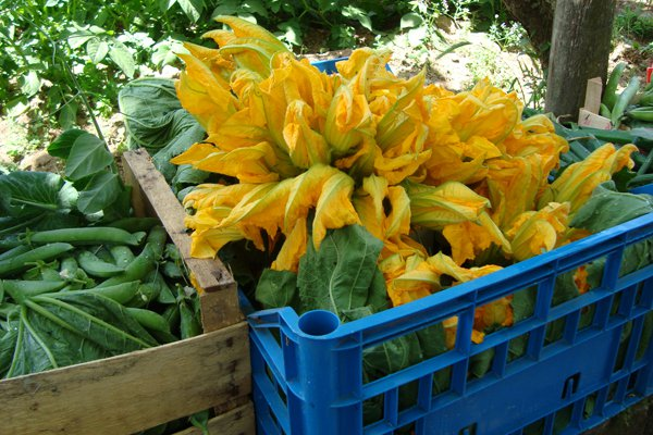 A sampling of the morning's pick from the family farm: fava beans and zucchini blossoms.