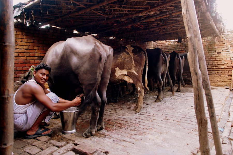 The ancient diary 500 meters from my parents' house in Aligarh in north India. Minty-fresh milk!