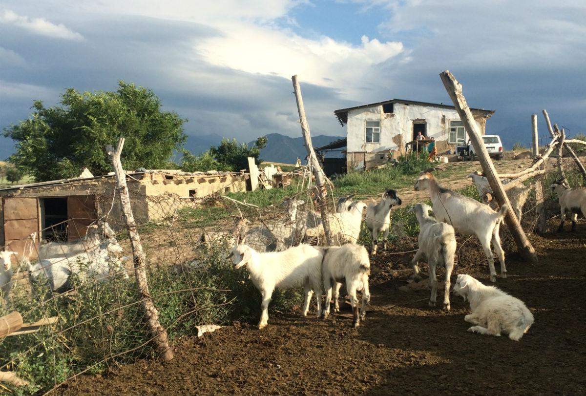 Sheeps in Bishkek
