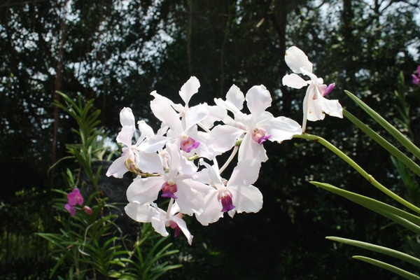 Orchids at Singapore Botanical Gardens
