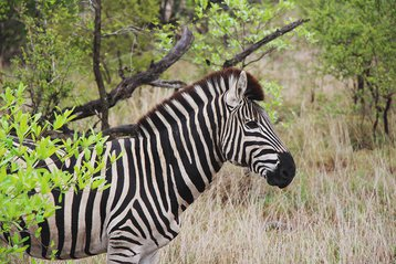 zebra - sabi sand, south africa
