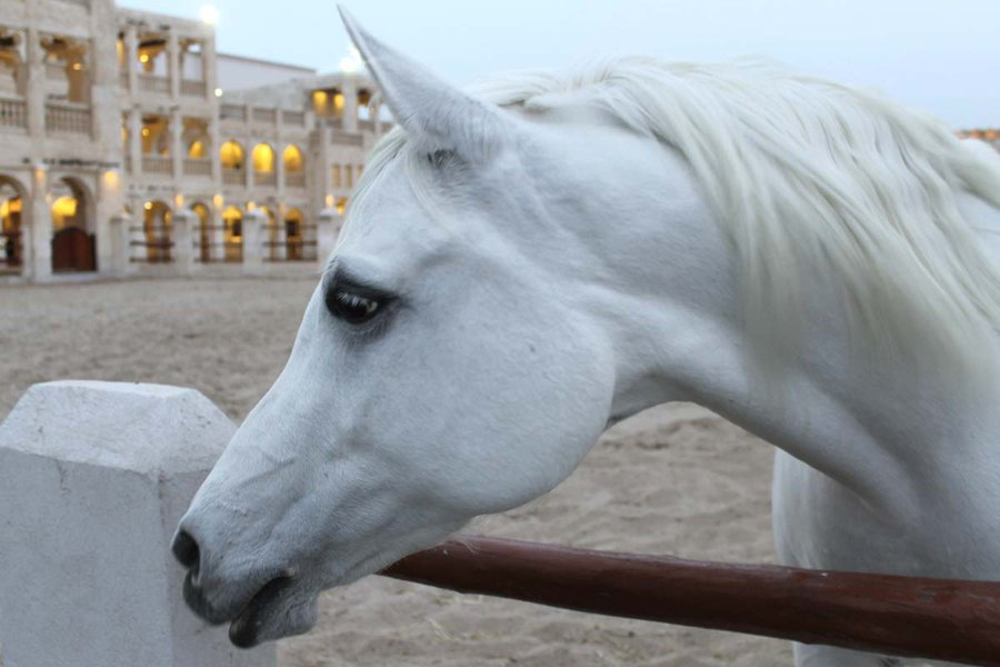 A Magnificent Arabian Horse