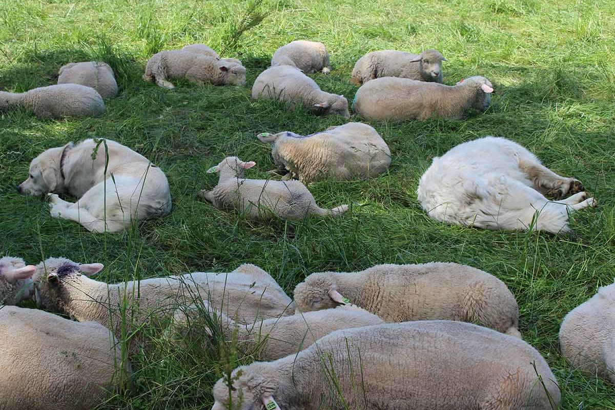 Sheep and herding dogs at Blue Hill at Stone Barns