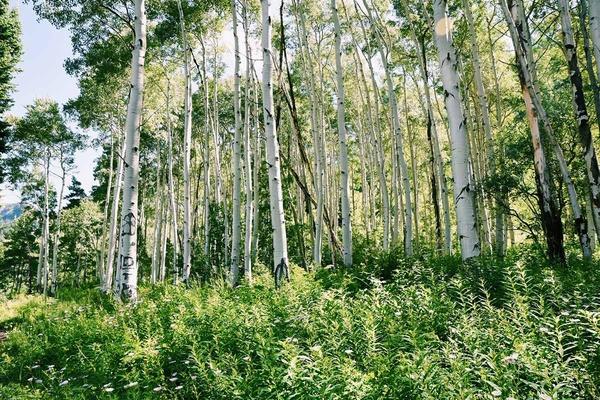 Vail Trees