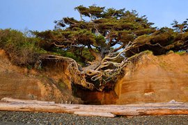 The Kalaloch Tree of Life in Washington.