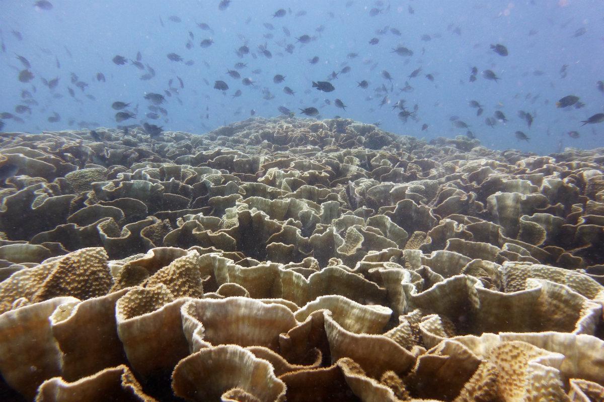 Turtle Island coral