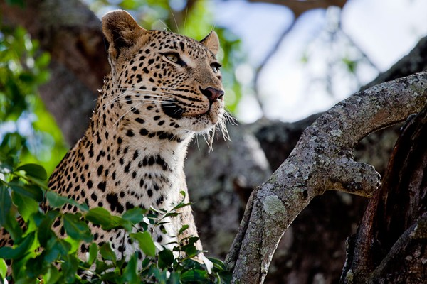 Londolozi Leopards