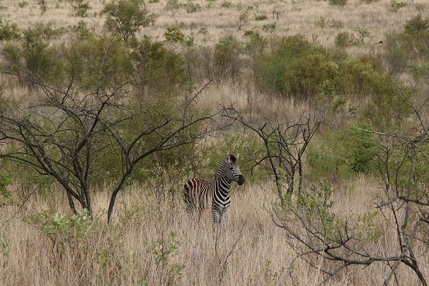 zebra at Sabi Sand Reserve in South Africa