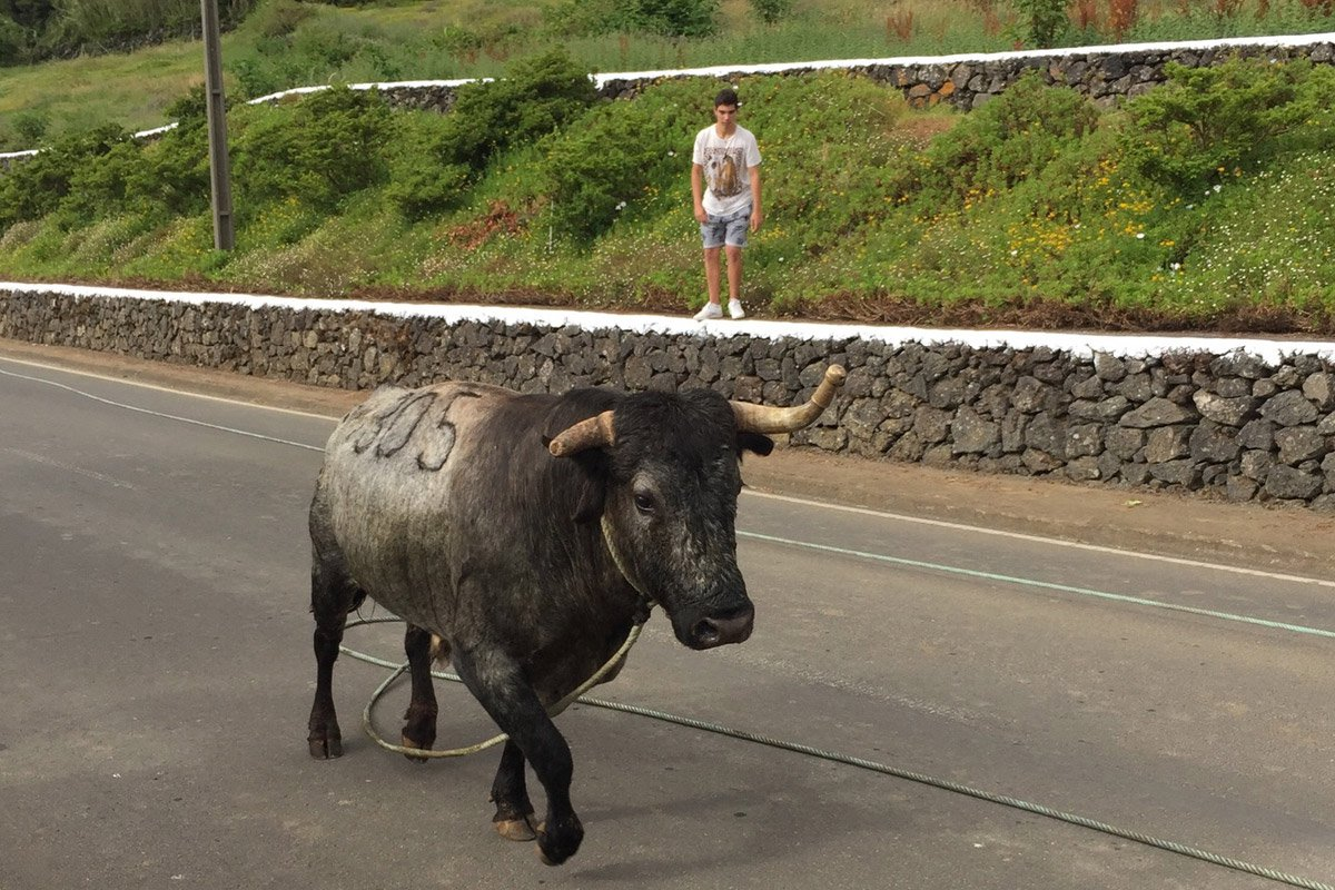 Bull run at Terceira Island, Azores.
