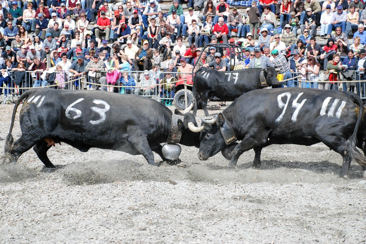 Cow Fights Verbier Switzerland.