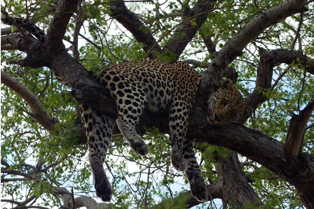 East Africa safari leopard in tree