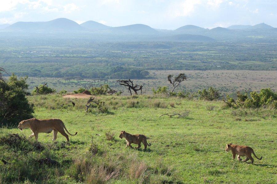 East Africa safari pride of lions
