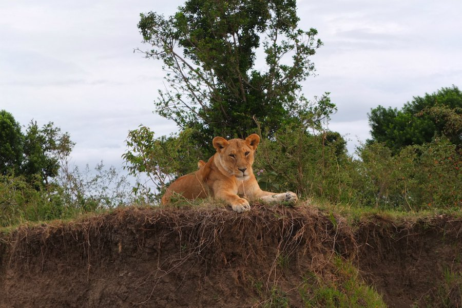 East Africa safari lion