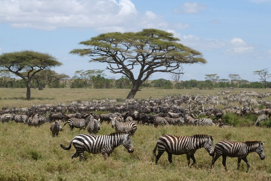 East Africa safari zebras serengeti