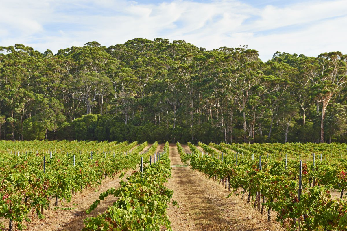 Leeuwin Estate vineyard.