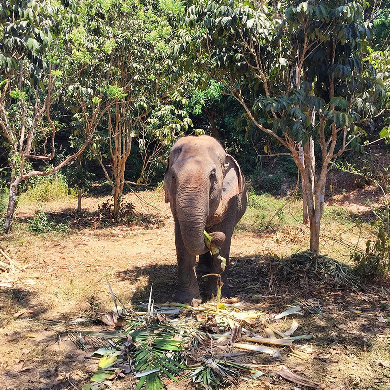 Phuket elephant sanctuary.